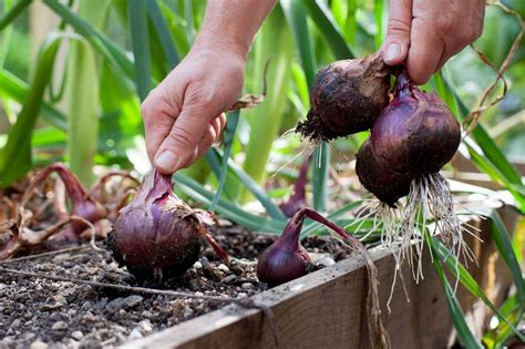 grow red onions plant instructions