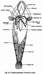 Dissection Of Lata Fish  With Diagram