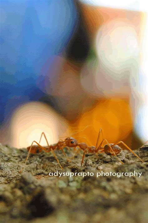 cinta semut merah adysuprapto