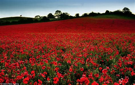 images poppies remembrance just in time for remembrance day the most beautiful poppy field photographs daily mail online