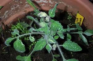 Grüne Tomaten Nachreifen : tomaten ~ Lizthompson.info Haus und Dekorationen