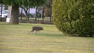 Coyote stalks and starts going in for attack on elderly ...