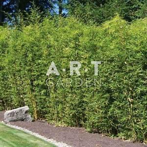 Bambou Pour Haie Brise Vue : haie de jardin en bambou tra ant pseudosasa japonica ~ Premium-room.com Idées de Décoration