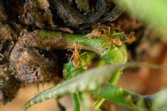 obstbäume vor schützen ameisen an 187 sind sie n 252 tzlich oder sch 228 dlich