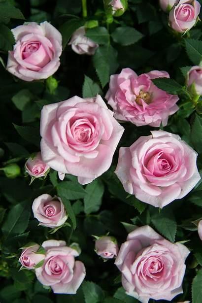 Rose Roses Flowers Flower Garden Bloom Blooming