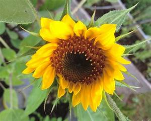 Tips For Planting Sunflower Seedlings