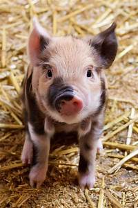 17 Best Images About Baby Piglets On Pinterest