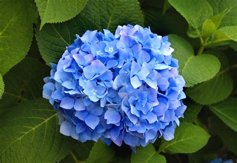 blue hydrangea can you name all these flowers names and flower