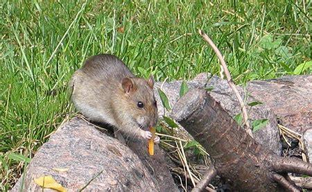 Schneckenfreier Garten Dank Der Ratten?