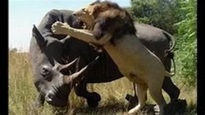 silverback gorilla vs lion fight | Search Results | Global ...