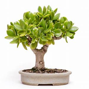 Sukkulenten Arten Bilder : crassula ovata oder pfennigbaum ~ Lizthompson.info Haus und Dekorationen
