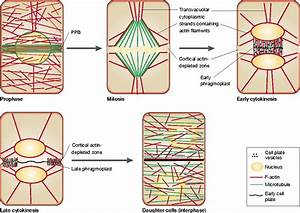 Diagram Cytoskeleton In Plant Cell