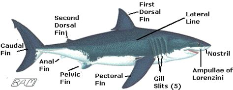 Great White Shark Diagram by Survival Adaptations The Great White Shark H H 2015
