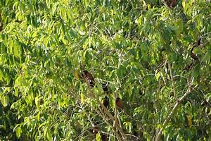 Our Philippine Trees  Rice Birds