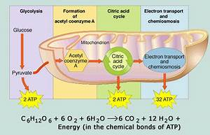 The End Products Of Aerobic Respiration Are