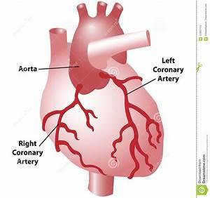 Coronary Arteries Diagram