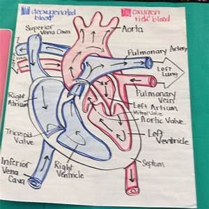 How Blood Circulates Poster