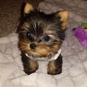 Teacup Yorkie Puppies 2 To 4 Lbs When Full Grown Baby Doll ...