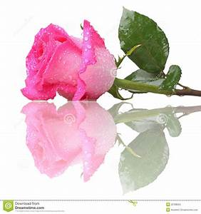 Pink Rose With Drops Of Water Stock Photo - Image: 22788050