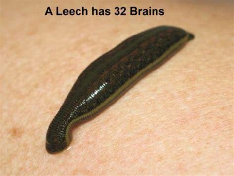 83 Best Images About Leeches On Pinterest Sea Slug