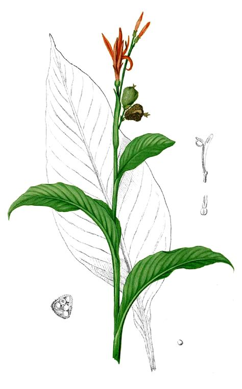 cannaceae wikipedia
