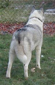 Cassy - Splash Coat Siberian Husky - Colors of the ...