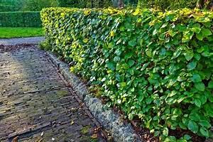 Welche Pflanzen Eignen Sich Als Sichtschutz : gartenhecke pflanzen eine hecke als sichtschutz einpflanzen ~ Sanjose-hotels-ca.com Haus und Dekorationen