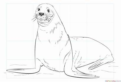 Seal Coloring Fur Pages Brown Draw Seals