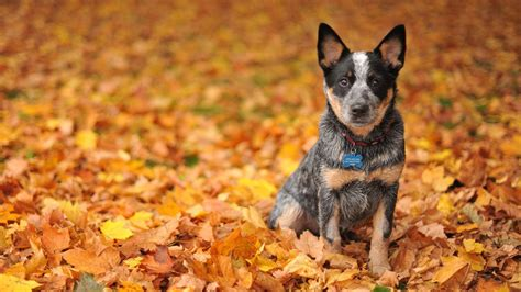 Fall Backgrounds Dogs by Animals Dogs Australian Shepherd Puppy On The