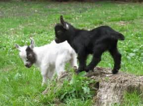 Baby Farm Animals Goat