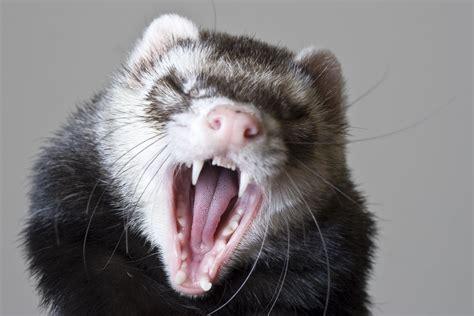 dental disease  ferrets symptoms  diagnosis