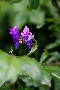 Pflanze Lila Blätter : kostenlose foto natur wald bl hen blatt lila bl tenblatt fliege honig fr hling gr n ~ Eleganceandgraceweddings.com Haus und Dekorationen