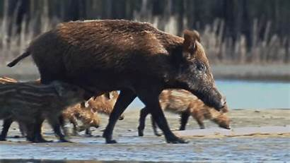 Boar Scrofa Wild Gifs Sus Giphy Nature