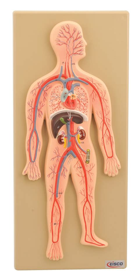 25+ Best Ideas About Circulatory System On Pinterest  Human Anatomy Model, Heart Pumping Blood