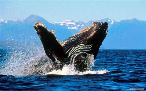 Marine Animal Wallpaper - marine desktop wallpaper impremedia net