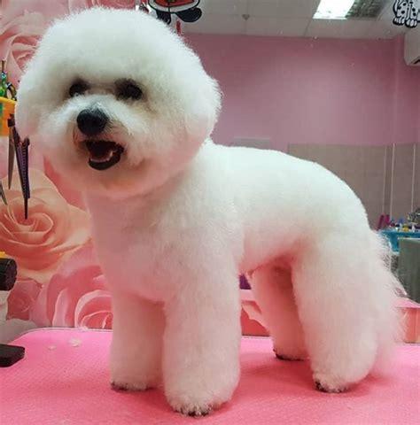 bichon frise haircuts   puppy  paws