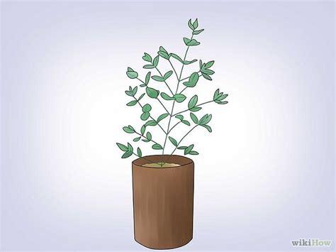 growing eucalyptus indoors how to grow eucalyptus