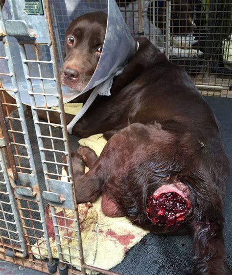 worlds saddest dog labrador abandoned  sickening