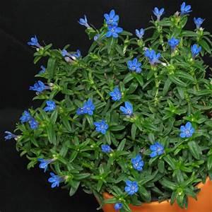 Bodendecker Blau Blühend Winterhart : blau bl hende pflanzen und blumen bestimmen ~ Michelbontemps.com Haus und Dekorationen
