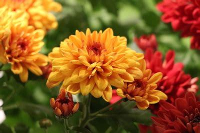 dendranthema hybride balkon sind chrysanthemen winterhart und mehrj 228 hrig