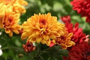 Blumen Winterhart Mehrjährig : sind chrysanthemen winterhart und mehrj hrig ~ Whattoseeinmadrid.com Haus und Dekorationen