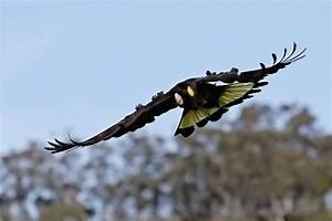 File:Yellow-tailed black cockatoo04.jpg - Wikipedia