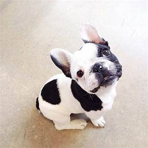 Black And White French Bulldog Pictures, Photos, and ...