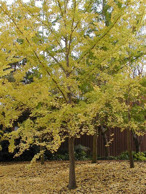 ginco trees ginkgo biloba tree pictures
