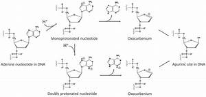 Protonation Mechanism Of Depurination  Adenine Is