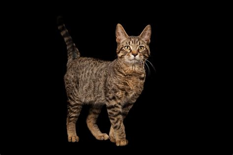 cats cat domesticated ancient dna themselves katzen shows domestic domestiziert selbst haben sich origin nationalgeographic history geographic national spread humans