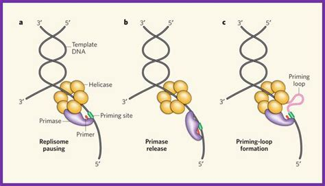 the leading strand template forms a priming loop 5