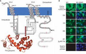 GPCR Engineering Yields High-Resolution Structural ...