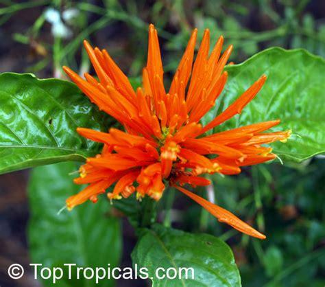 justicia sp jacobinia sp plume flower toptropicalscom