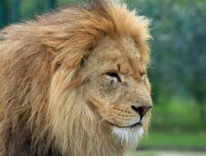 Image Of A Lion Head - The Best Lion In 2018